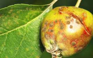 Белая плесень на яблоне. Если грибок на яблоне, как бороться? Расскажут специалисты