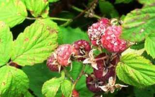 Антракноз малины фото. Болезни садовой малины: описание и лечение