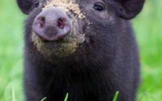 Вес вьетнамской свиньи по месяцам таблица. Вьетнамские поросята — вес по месяцам