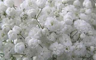 Гипсофила однолетняя. Гипсофила – ажурные травы с мелкими цветами