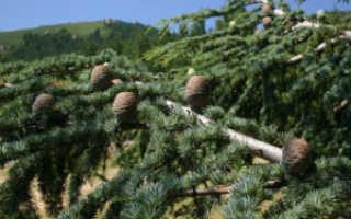 Кедр это хвойное растение. Кедр это хвойное или лиственное дерево