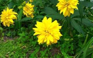 Золотой шар цветы уход и посадка. Золотые шары, посадка и уход