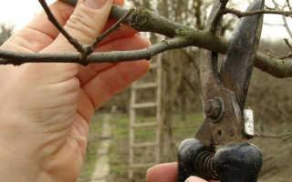 Как обрезать стелющуюся яблоню осенью. Как обрезать поросль у стелющейся яблони?