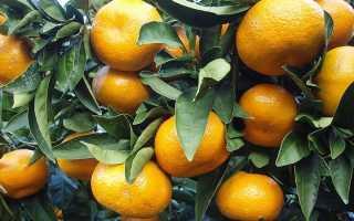 Желтеют листья у мандарина комнатного. Почему желтеют листья у мандарина?