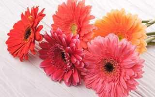 Как выглядит цветок гербера фото. Гербера: выращивание, уход, сорта и профилактика болезней.