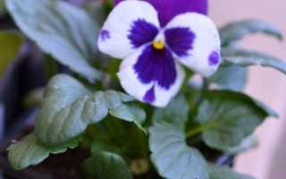 Виолы фото. Выращивание виолы (92 фото): рекомендации по уходу и подбор состава почвы