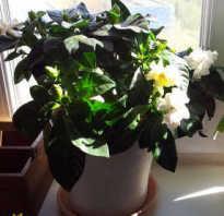 Гардения mystery. Гардения жасминовидная — белое великолепие цветов среди темно-зеленой листвы