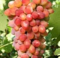 Виноград арочный видео. Виноград Арочный: описание сорта, фото, отзывы
