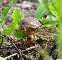 Грибы хвойного леса фото и описание. Королевские грибы для засолки, которые появляются в лесу в сентябре