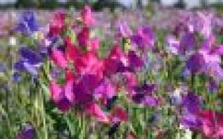 Душистый горошек многолетний. Душистый горошек многолетний Разноцветье, Смесь, 0,5 г