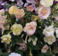 Ахименес yellow english rose. Ахименес Yellow English Rose Отзывы: