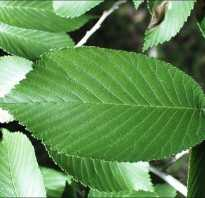 Вяз картинка. Как выглядит дерево вяз — описание и фото дерева и листьев