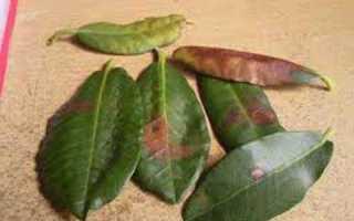 Болезни рододендронов. Основные болезни рододендронов и их лечение