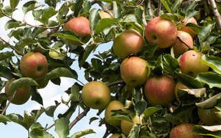 Джонаголд яблоки фото. Яблоня Джонаголд — описание сорта, фото, отзывы