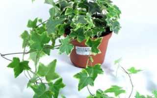 Как вырастить плющ из семян. Плющ в саду: выращивание лианы и уход за ней