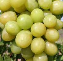 Виноград благовест описание сорта фото отзывы видео. Виноград сорта Благовест — сладкая солнечная ягода