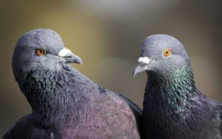 Как выглядит новорожденный голубь. Все, что вы хотели знать о птенцах голубей