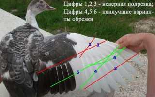 Как обрезать крылья индоуткам. Как правильно подрезать крылья уткам