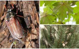Какие птицы едят майских жуков. Что едят майские жуки и кто ест их: факты, описание, методы борьбы, личинки, видео