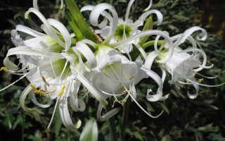 Исмена фесталис посадка и уход. Как посадить и вырастить исмене фесталис (перуанский нарцисс)
