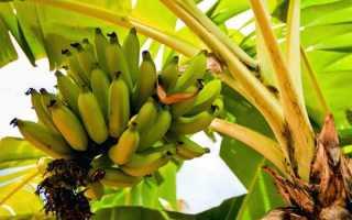 Как посадить банановое дерево в домашних условиях. Как вырастить банан в домашних условиях