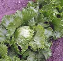 Как вырастить салат айсберг в огороде. Секреты успешного выращивания салата айсберг на дачном участке