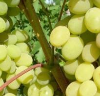 Августин виноград описание сорта. Виноград Августин: описание сорта, фото, отзывы садоводов