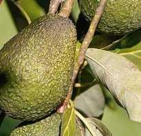 Авокадо калорийность в 1 штуке. Истинная калорийность авокадо, секреты его применение в пищу и для похудения