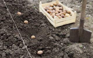 Когда надо сажать картофель. Когда лучше сажать картофель? Народные приметы