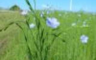 Выращивание льна из семян. Как выращивать лен в домашних условиях?