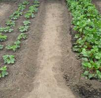 Выращивание виктории в открытом грунте.