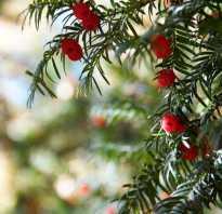 Виды тиса. Тис: секреты выращивания различных видов и сортов