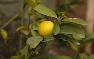 Виды лимонов комнатных. Сорта и виды лимонов для домашнего выращивания