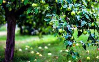 Как утеплить плодовые деревья на зиму видео. Как утеплять деревья на зиму