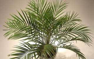 Болезни финиковой пальмы. Финиковая пальма — уход в домашних условиях
