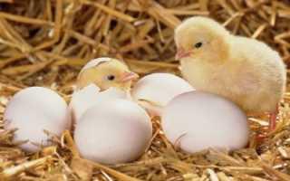 Как применять метронидазол для цыплят. Метронидазол для цыплят