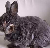 Абсцесс у кролика лечение в домашних условиях. Абсцесс и фурункулез у кроликов