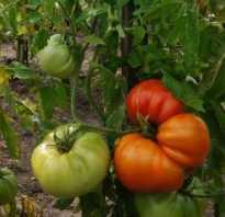 Бабушкина радость томат. Томат Бабушкина радость