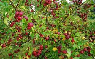 Китайка медовая яблоня. Множественные разновидности яблонь Китаек