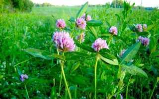 Как выглядит цветок клевер. Клевер луговой