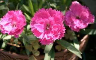 Китайская гвоздика фото цветов. Гвоздика китайская многолетняя, посадка и уход