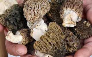 Грибы растущие в мае. Какие грибы растут весной: самые первые, самые ранние