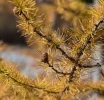 Как сажать лиственницу. Выращивание лиственницы на садовом участке