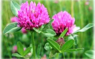 Как сажать клевер красный. Когда сеять клевер осенью или весной и от чего это зависит?