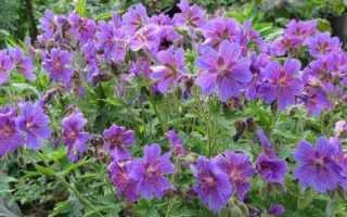 Герань великолепная фото цветов. О многолетних геранях замолвите слово…