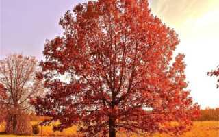 Дуб остролистный фото и описание. Что за дерево красный дуб?