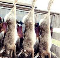 Как бить кроликов. Как забить кролика? Отбор кроликов и методы убоя