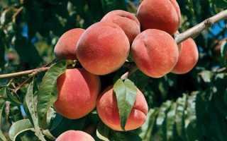 Болезни персика фото и чем лечить. Болезни и вредители дерева персик