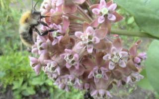 Ваточник туберозовый посадка и уход. Ваточник: выращивание в открытом грунте и уход
