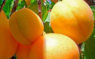 Абрикос персиковый описание сорта фото отзывы. Описание сорта абрикосов Персиковый и характеристика морозоустойчивости, достоинства недостатки